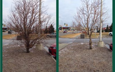 The Benefits TO YOU of Proper Tree Pruning