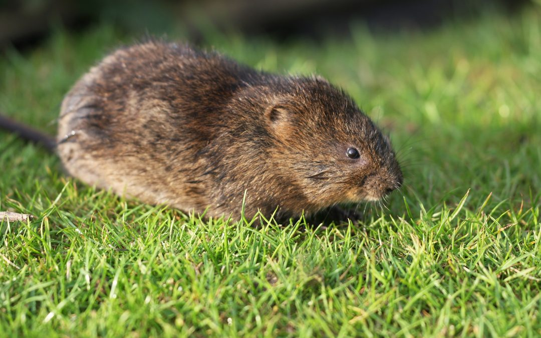 Voles – What do I tell my spouse???